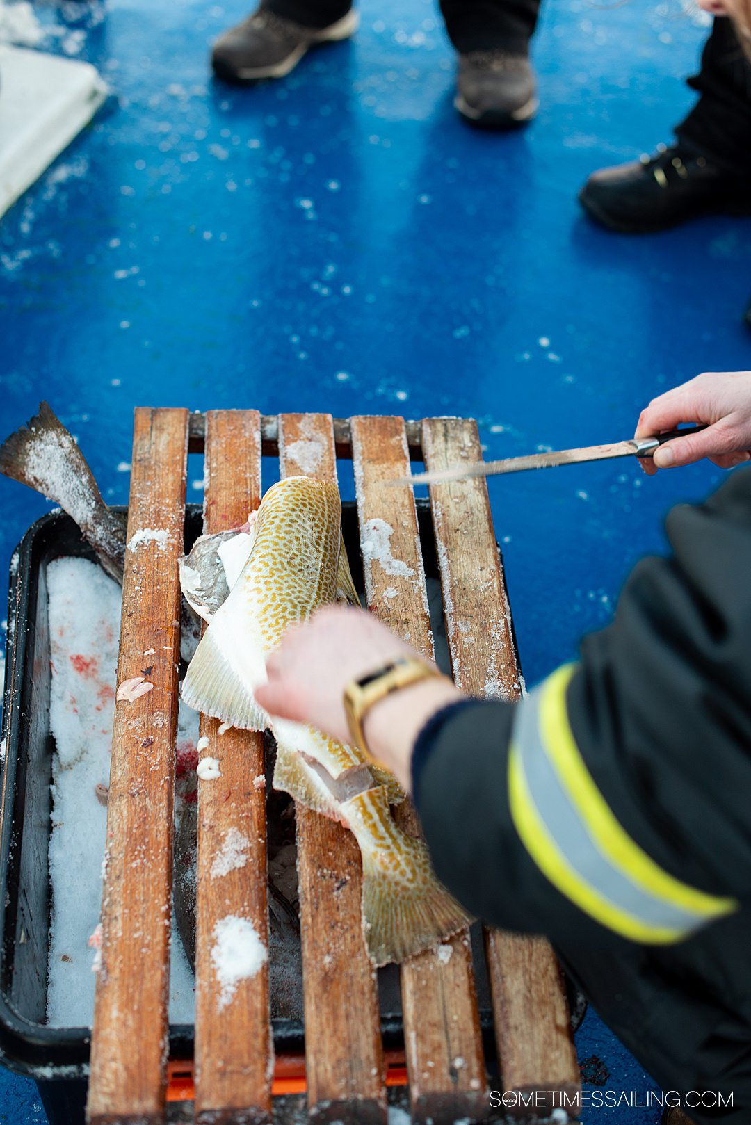 Gutting a fish on a polar fjord boat tour during winter in Tromso, Norway.