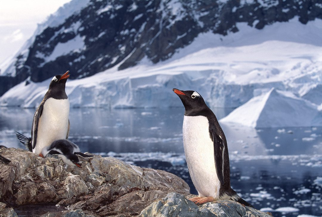 Photo of Gentoo penguins in Antarctica with icebergs in the background by Michel Verdure.