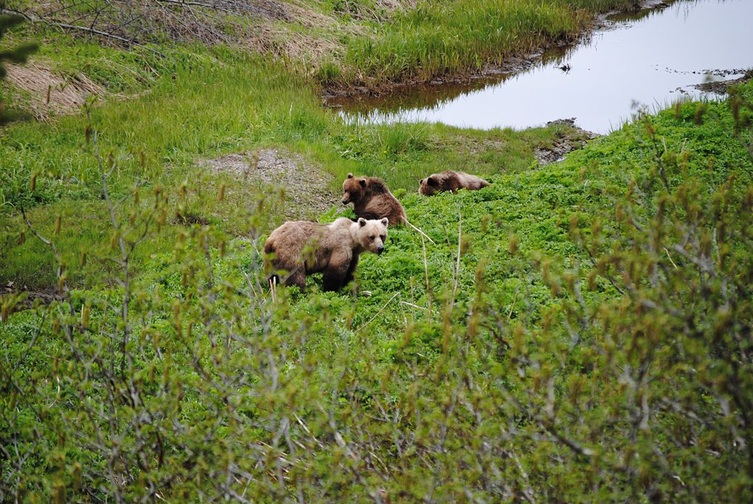 Brown bears at Icy Strait Point in Hoonah, Alaska