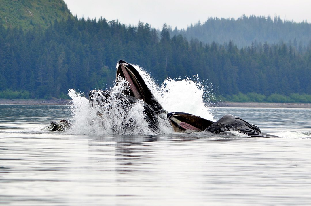 Image of humpback whales in Icy Strait Point in Hoonah, Alaska