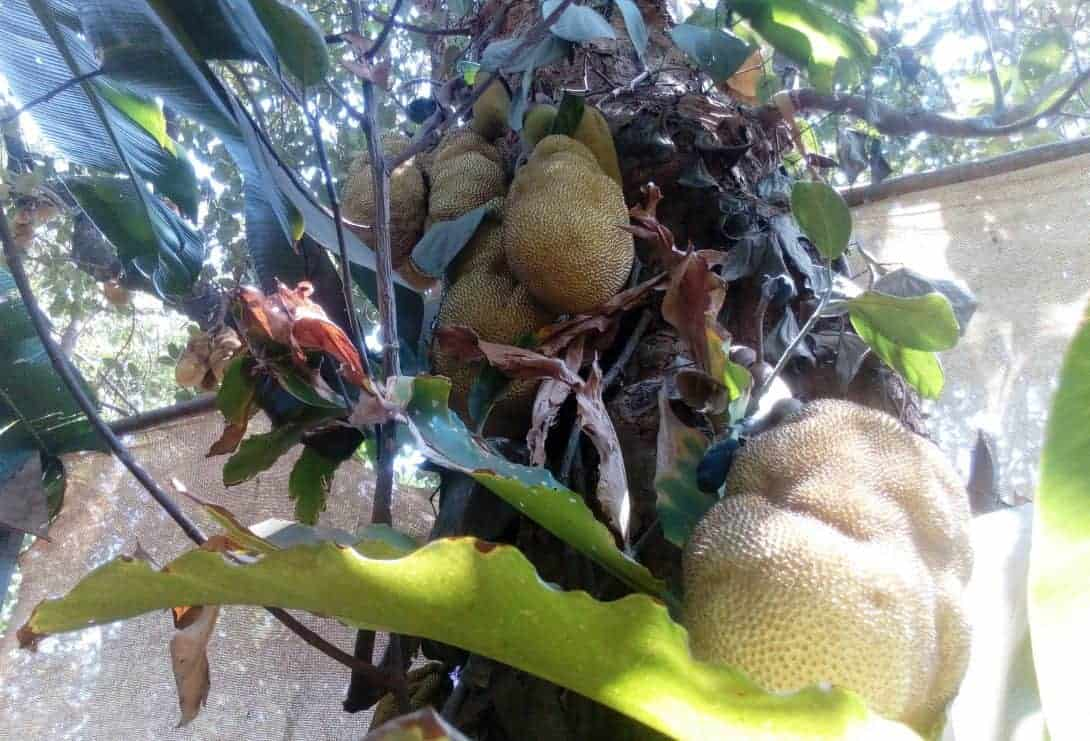 Jack Fruit Growing on a tree in India