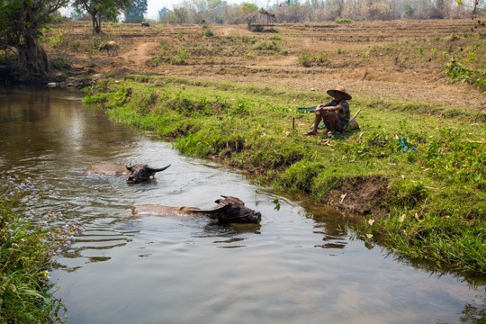 Buffalows in a Stream and a Farmer on the Bank in Hsipaw