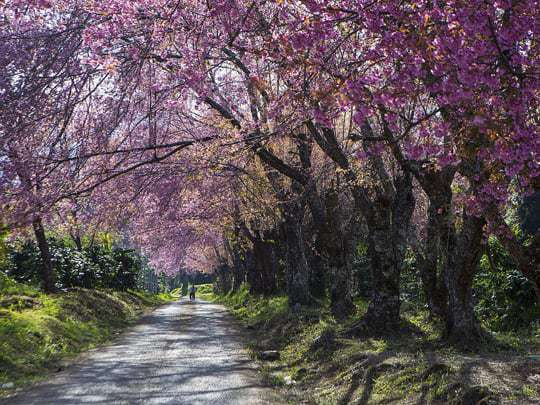 Purple Blossom on Trees in Doi Inthanon National Park