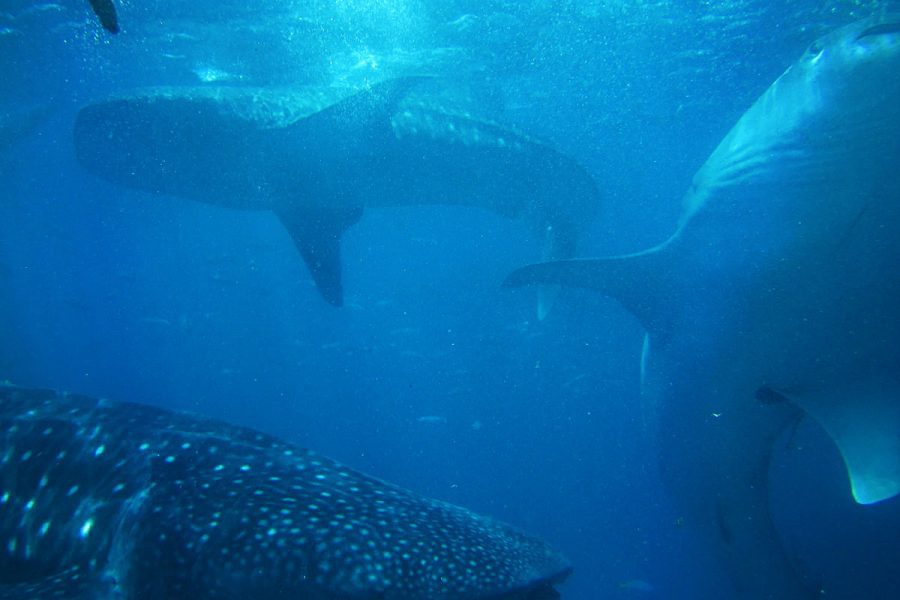 A whale shark spotted whilst diving in Phuket, Thailand