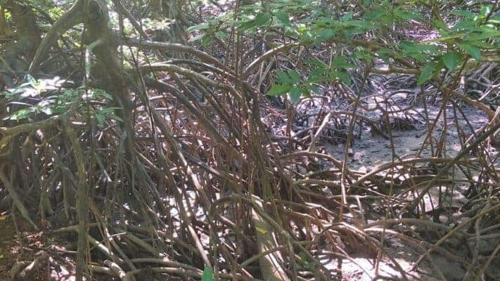 The thick tangled mangrove forests of the eastern coast.