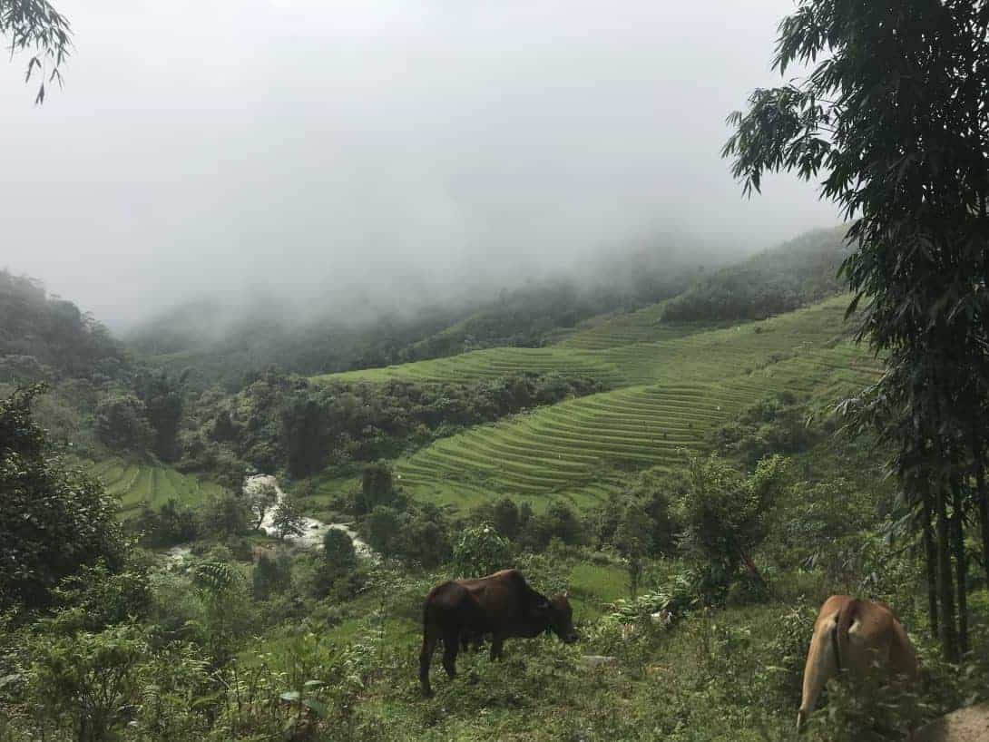Two Cows In The Foreground on a Misty Day In Sapa