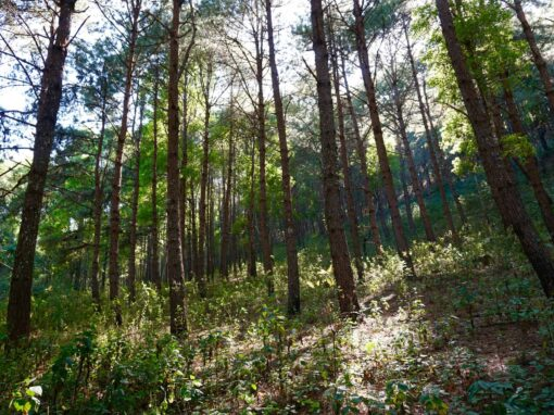 Tall trees in the forests of Doi Inthanon.