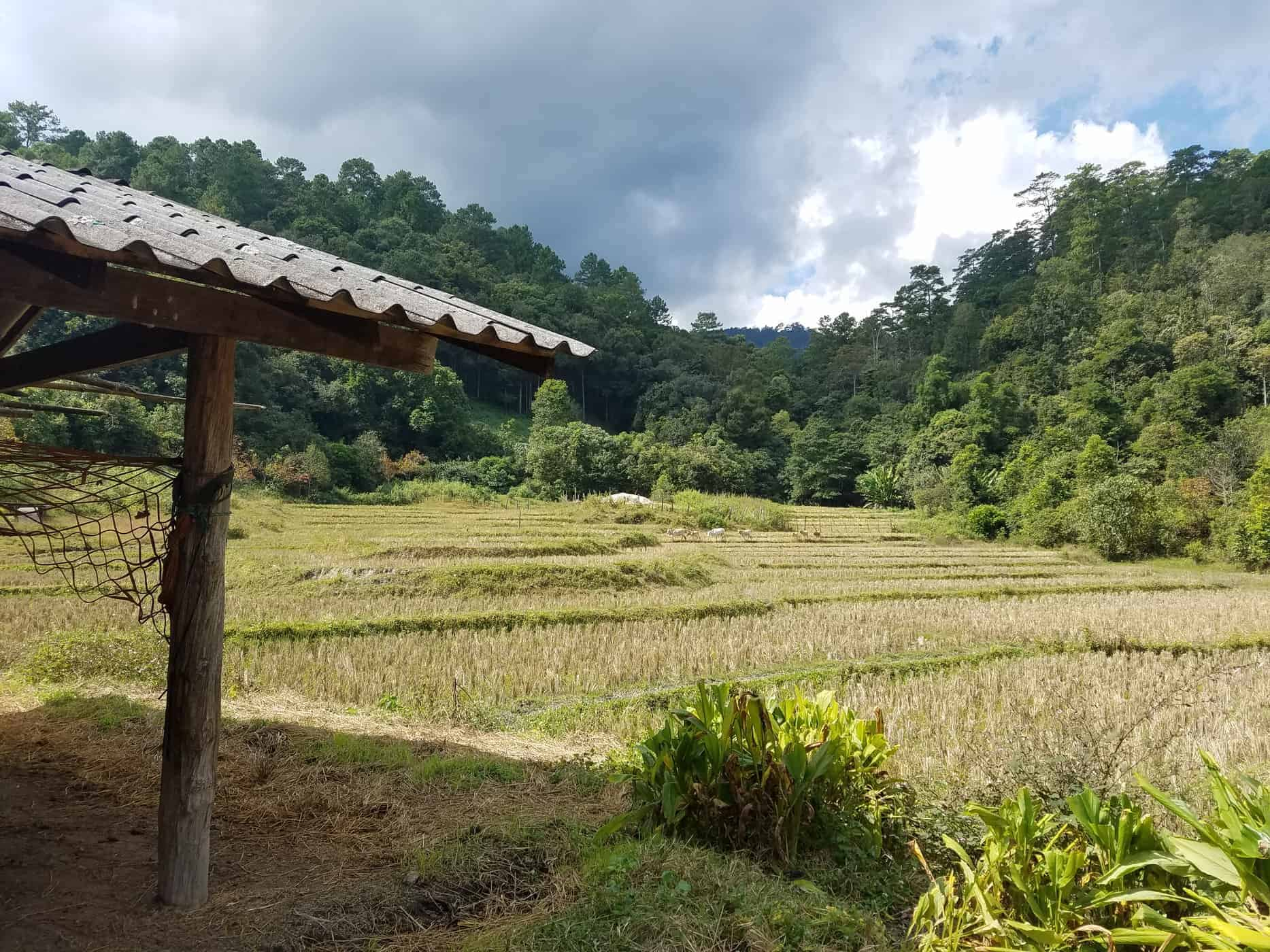 Rice fields are a common sight along the way on a Doi Inthanon Trek.