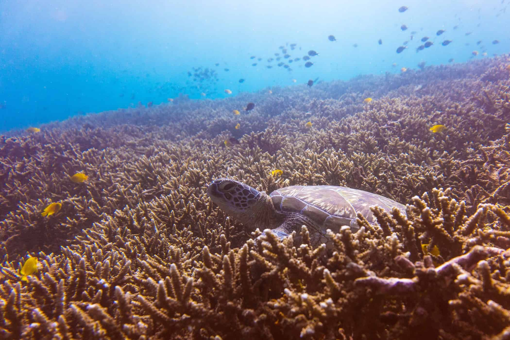 Sea Turtle on a Coral Bed, Diving Nusa Lembongan, Indonesia