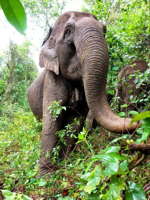 An Elephant Picking Up Plants With Its Trunk