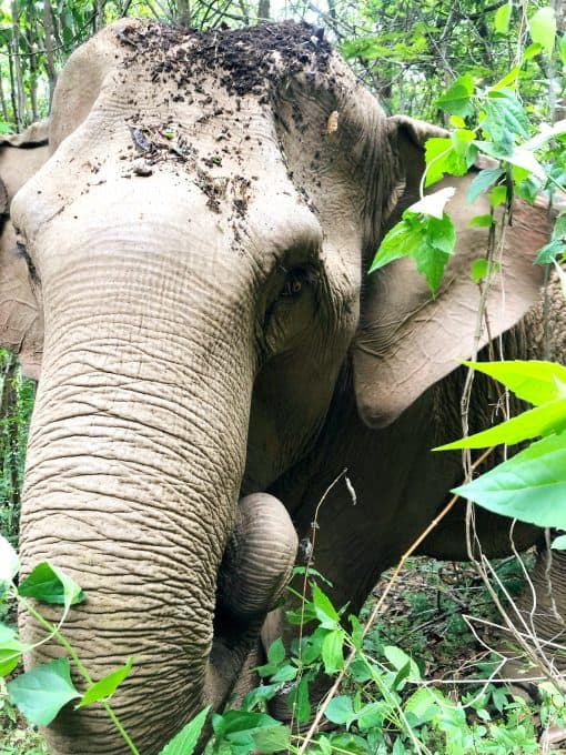 An Elephant With Soil On Its Head
