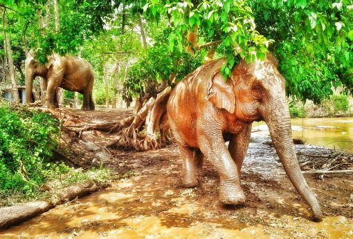 Elephants Covered in Mud at BEES, Near Chiang Mai, Thailand