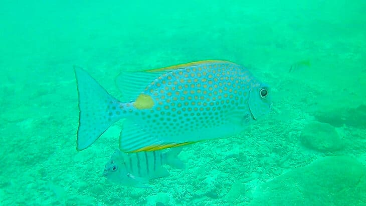 Large flat looking tropical fish.