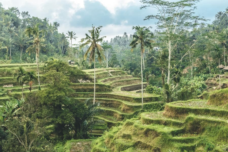 Green rice terraces and palm trees in Ubud, Bali.