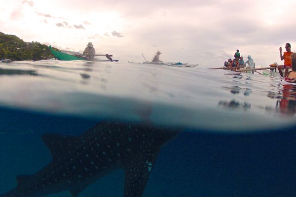 Whale shark underwater with snorkelers