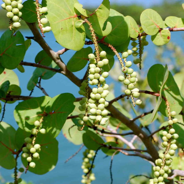 Pairfum Coccoloba Uvifera Canopy Infusion Leaf Grape