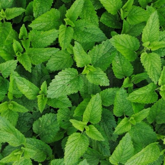 BingoFresh Premium Mint Leaves (Puthinayila)