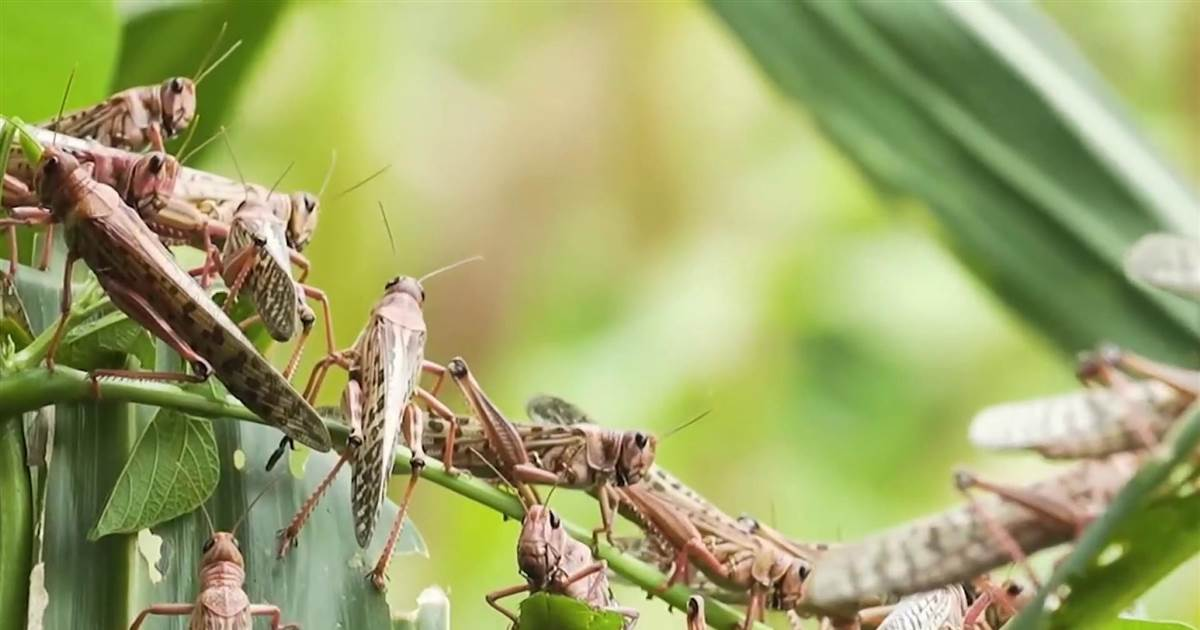 Swarm of locusts threaten livelihood of millions in African, Asian and Middle Eastern countries