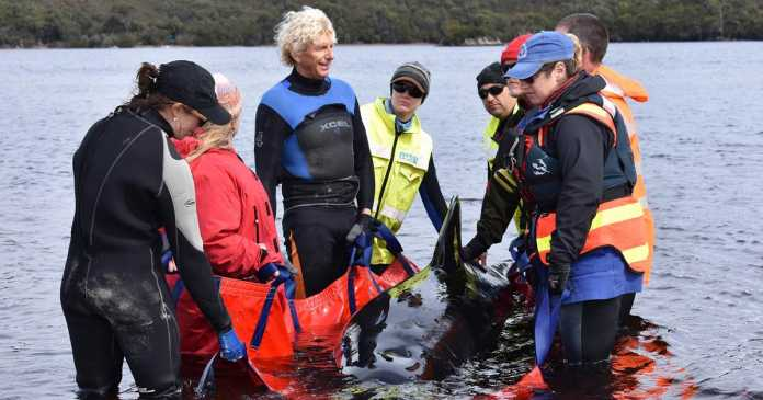70 stranded whales rescued in Australia after 380 die
