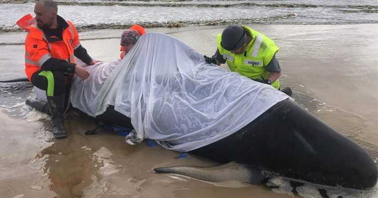 Australia begins disposal of dead whales as rescue efforts end