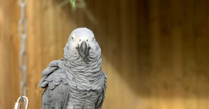 Parrots removed from view at park after swearing at the customers