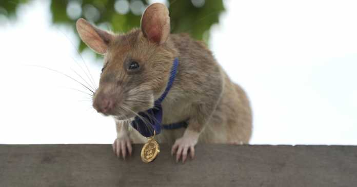 Rat wins the world's highest bravery award for sniffing out deadly landmines