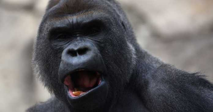 Zookeeper seriously injured after being attacked by 200kg gorilla