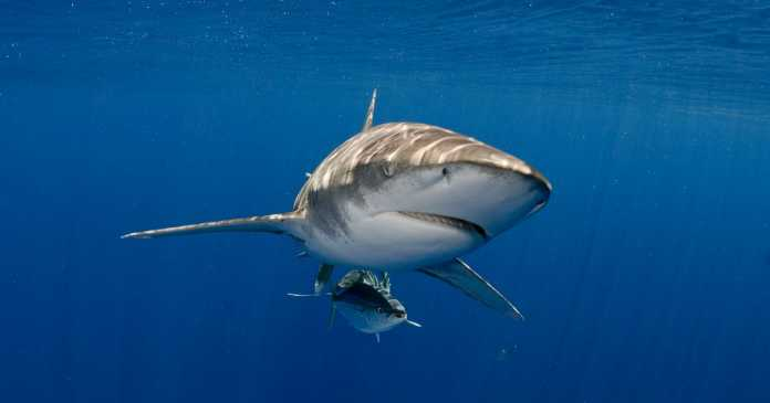 Boy, 12, and tour guide have limbs ripped off in shark attack in Red Sea
