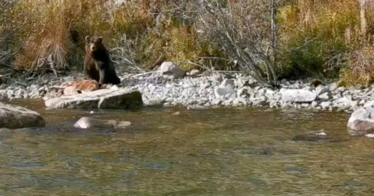 Grizzly scene after cannibal bear devours cub at lakeside due to salmon shortage