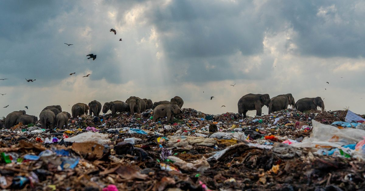 Heartbreaking photos capture noble elephants reduced to rubbish-tip scavengers