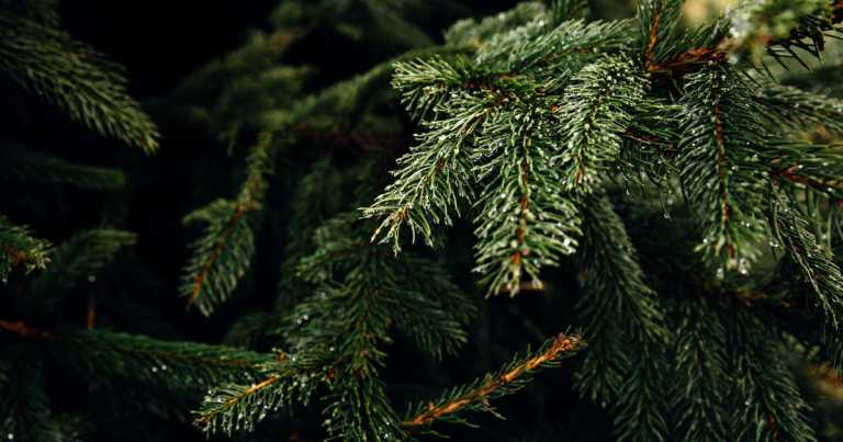 Exact date you should buy your Christmas tree and how to make it last