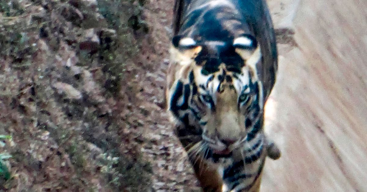 Rare black tiger on verge of extinction caught on camera by lucky photographer