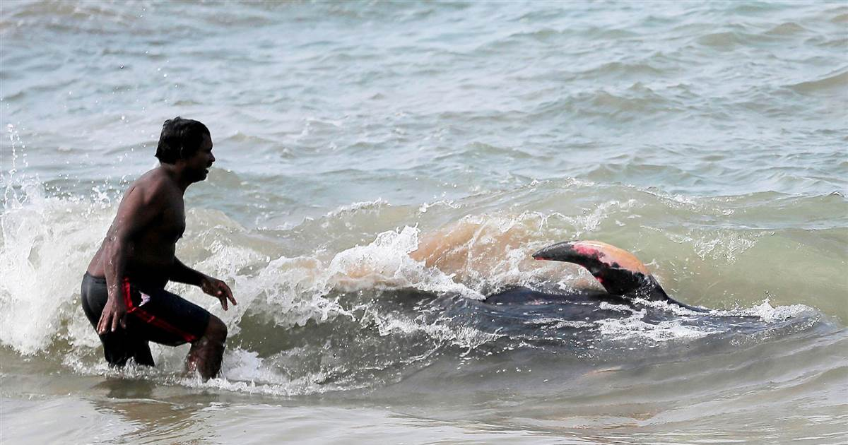 Rescuers save dozens of beached whales in Sri Lanka