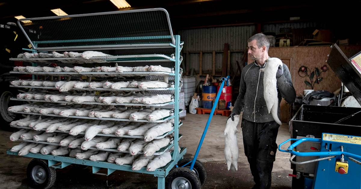 The Covid-19 crisis at mink farms, explained