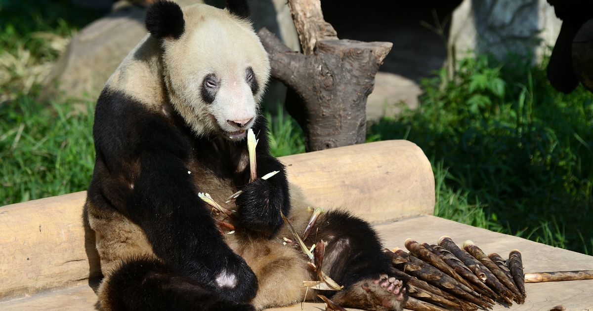 World's oldest panda hailed 'hero mother' dies aged 38 at Chinese zoo