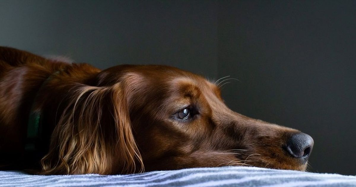 Can dogs get depressed? Here's how to spot the signs and what you can do to help