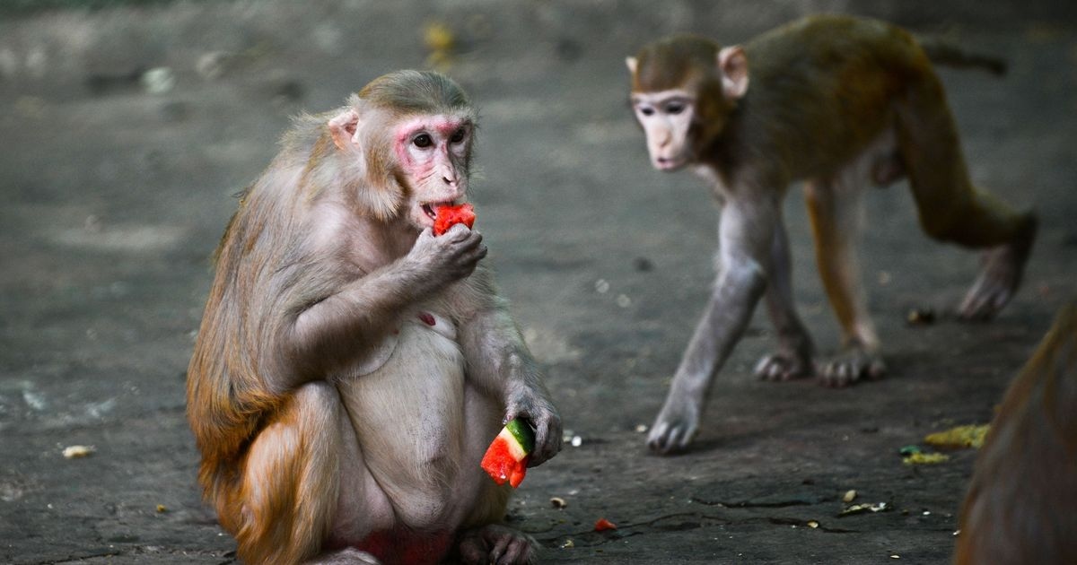 Monkeys can identify expensive items which they can steal and exchange for food