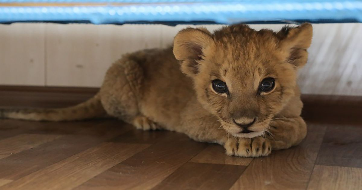 Tragic lion cub has both eyes removed after being smuggled 1,200 miles by bus
