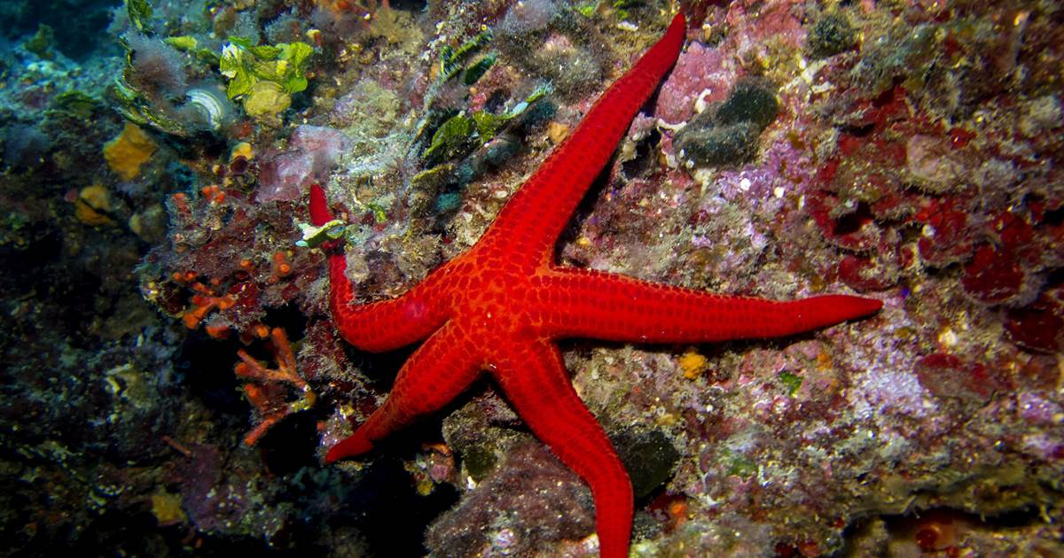 Warming oceans may be choking off oxygen to starfish, causing them to 'drown'