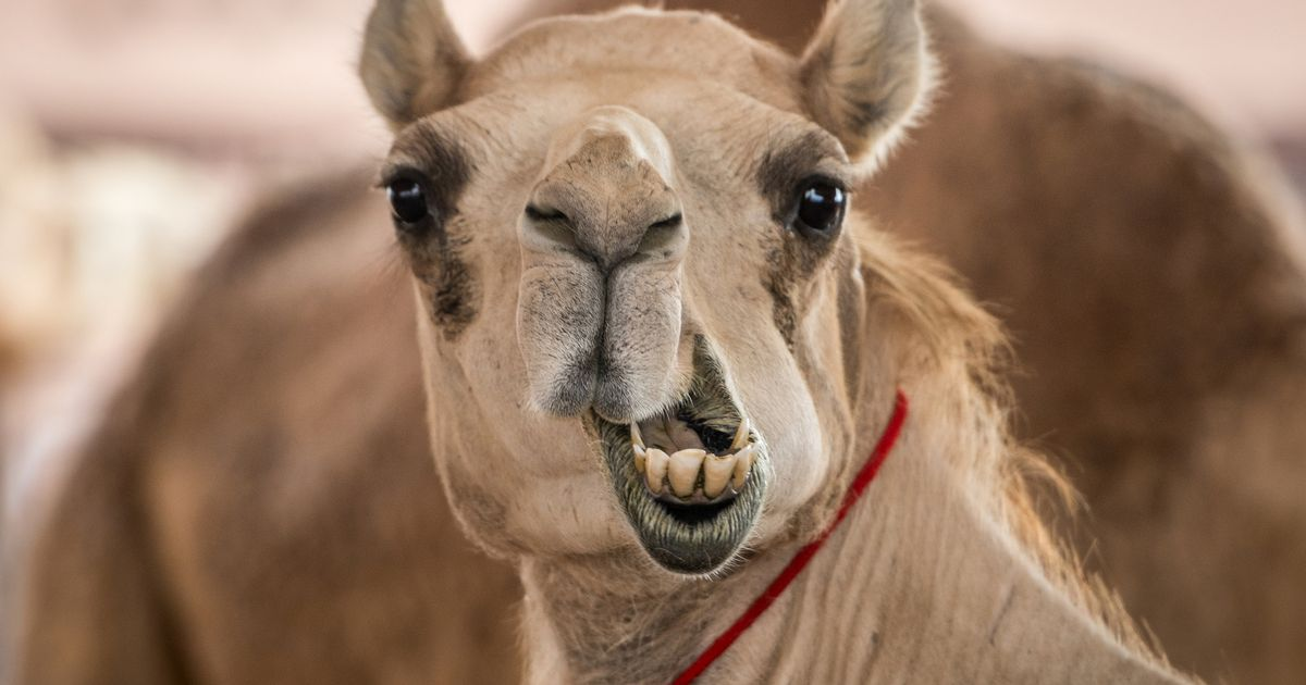 Zoo worker, 54, seriously injured after being mauled by camel during feeding