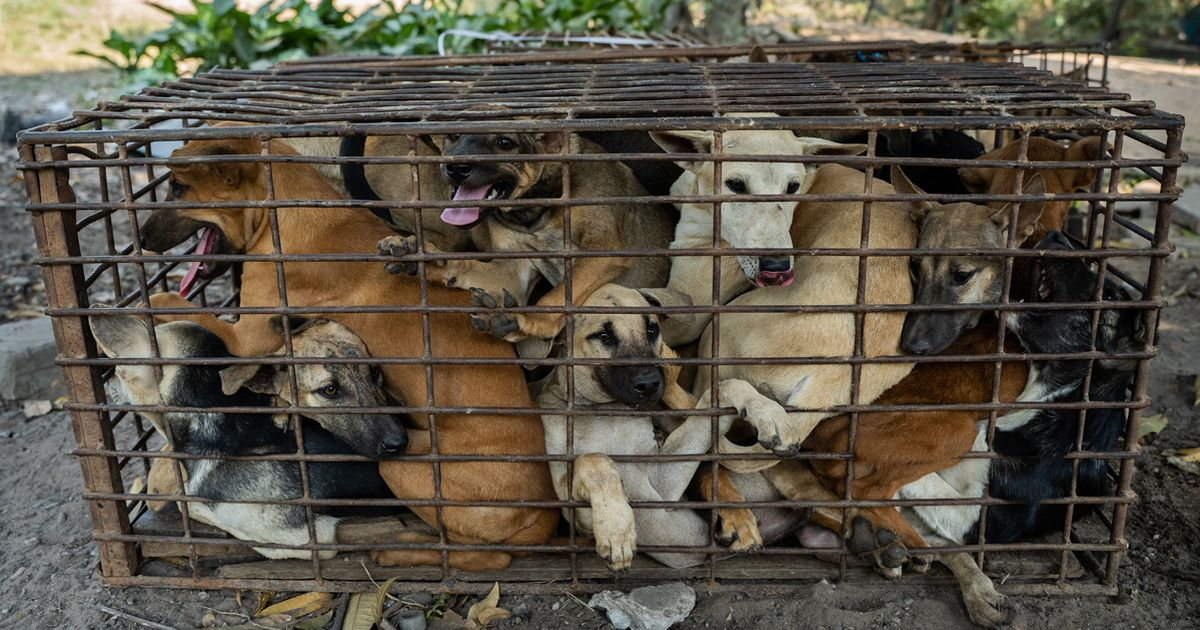 Harrowing images show 61 dogs packed into cages on way to slaughter for meat