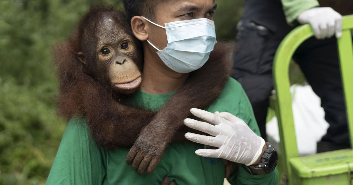 Rescued orangutan treated so badly as illegal pet it developed a fear of heights