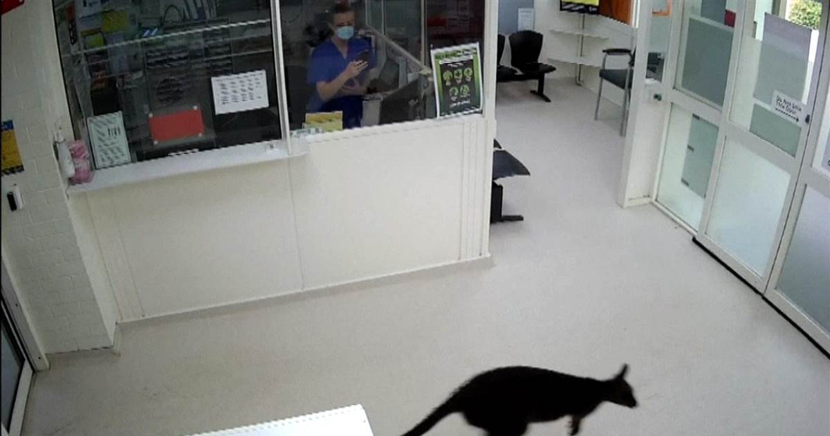 Watch: Cheeky wallaby checks out hospital ER