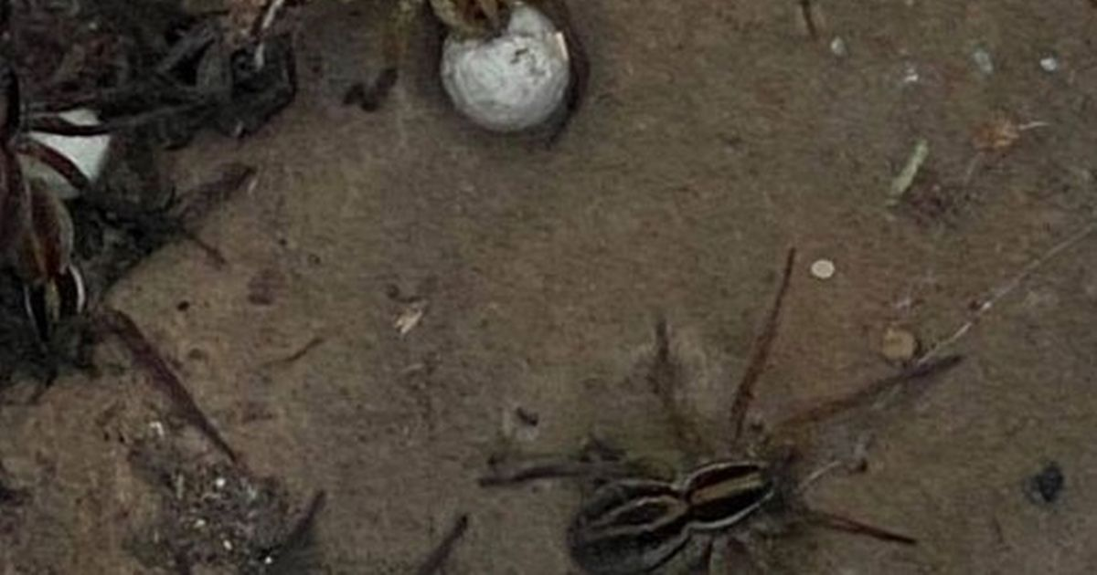 'Stuff of nightmares' as thousands of spiders unearthed by Australian floodwater