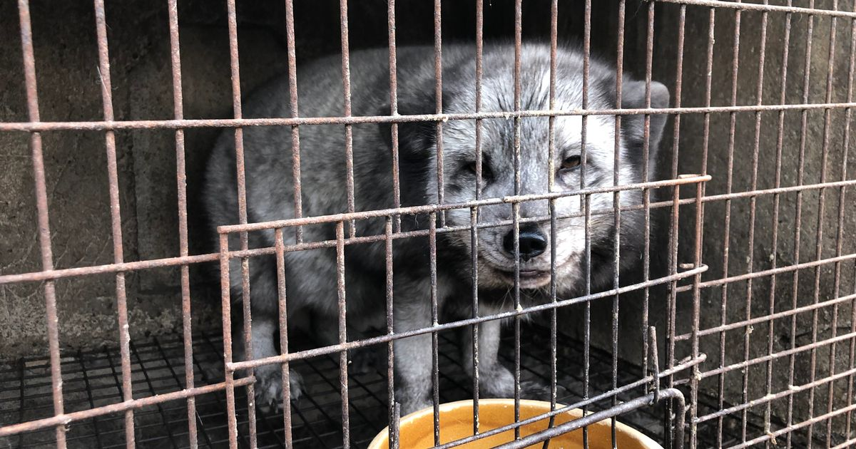 Fur farms in China branded 'virus factories' with animals kept in tiny cages