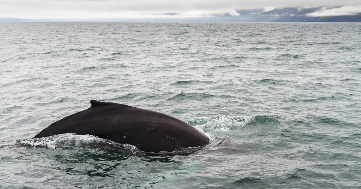 In country known for whale hunts, pandemic has been good for the deep-sea giants