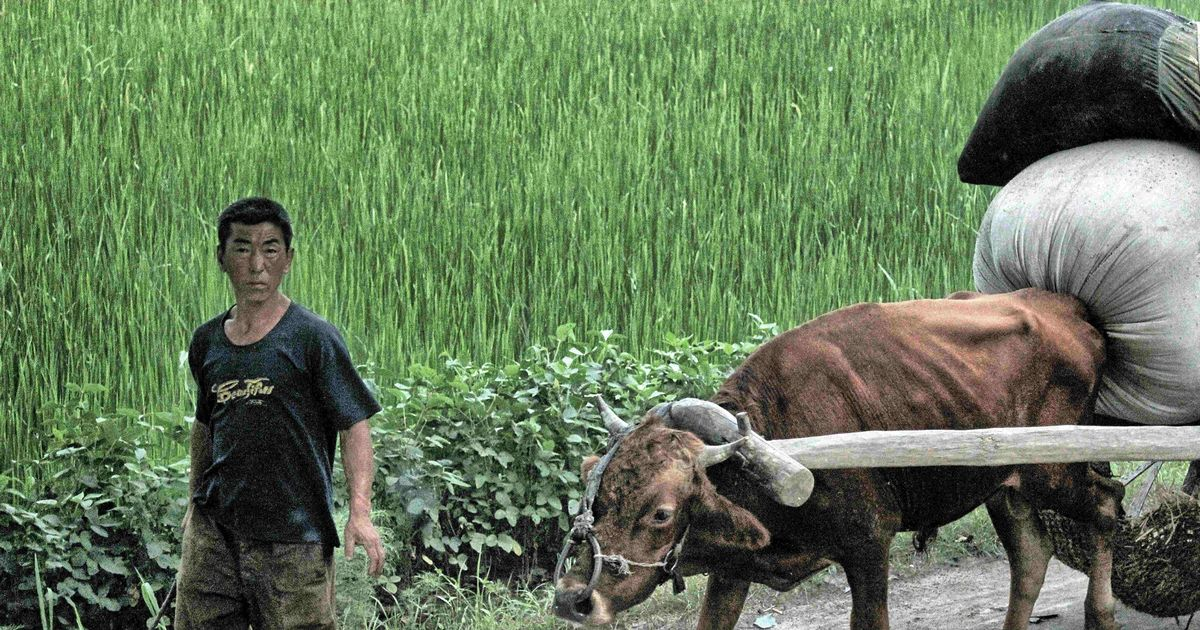 North Korea faces devastating famine as 'epidemic' of cow deaths hits food chain