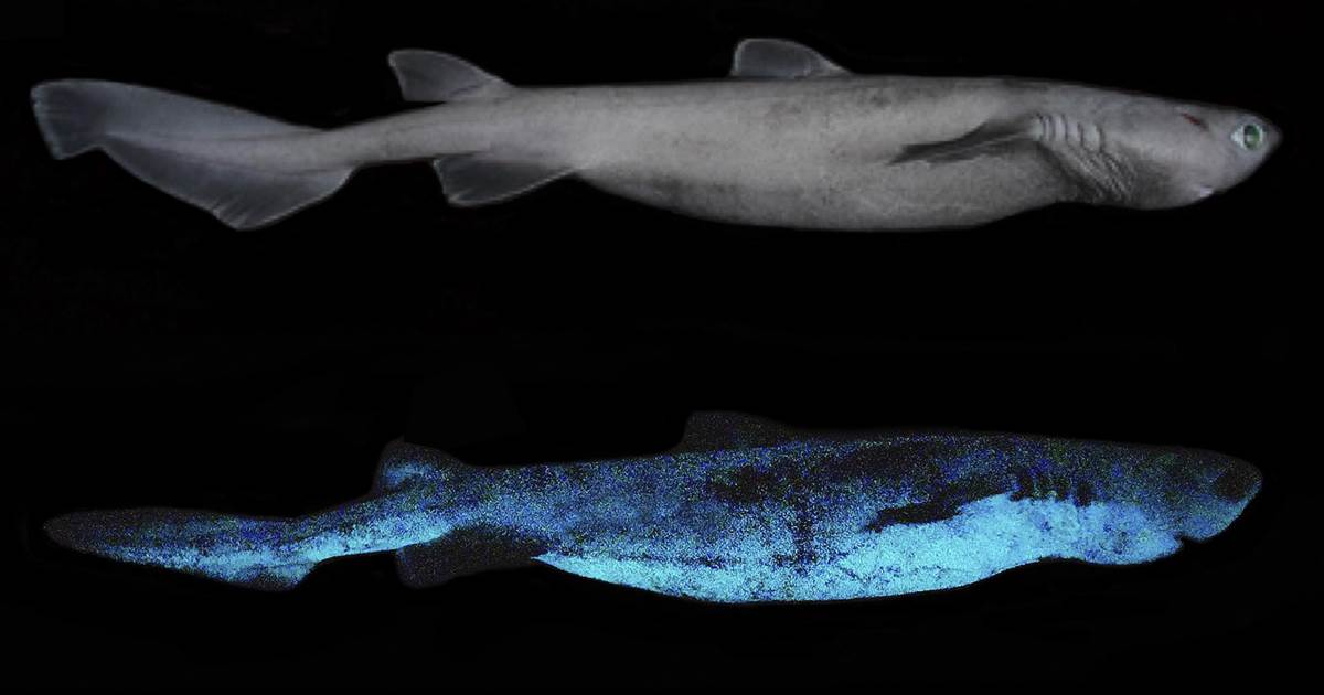 The ocean's 'twilight zone': Scientists discover giant luminous shark in the deep sea