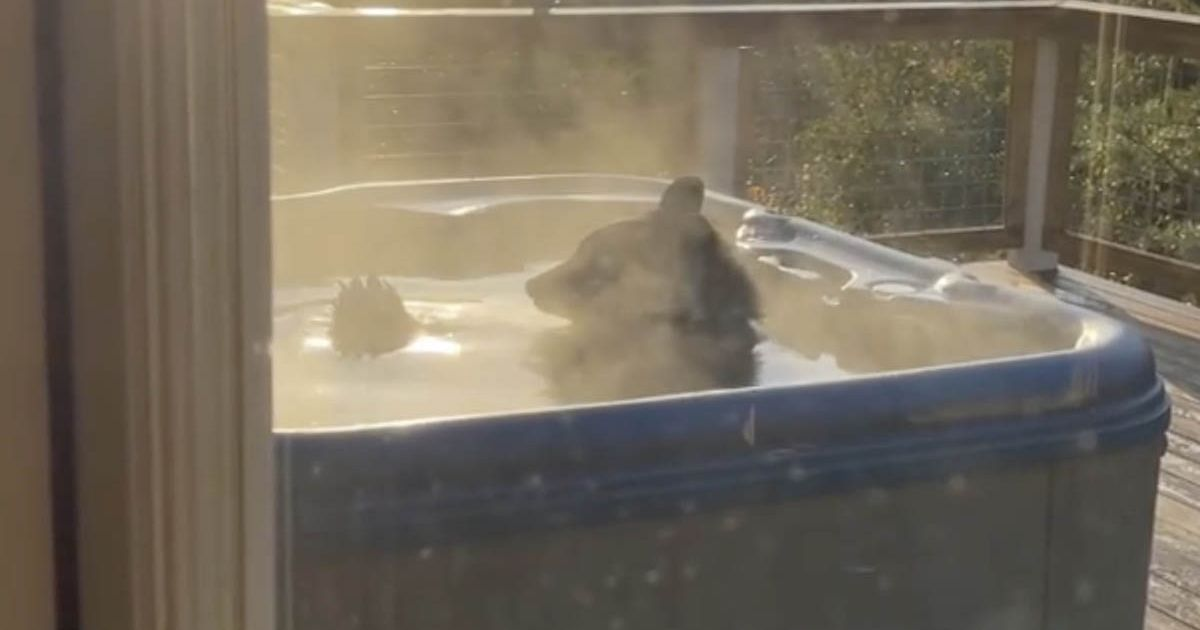 Tourist walks out to find huge bear taking relaxing soak in their hot tub