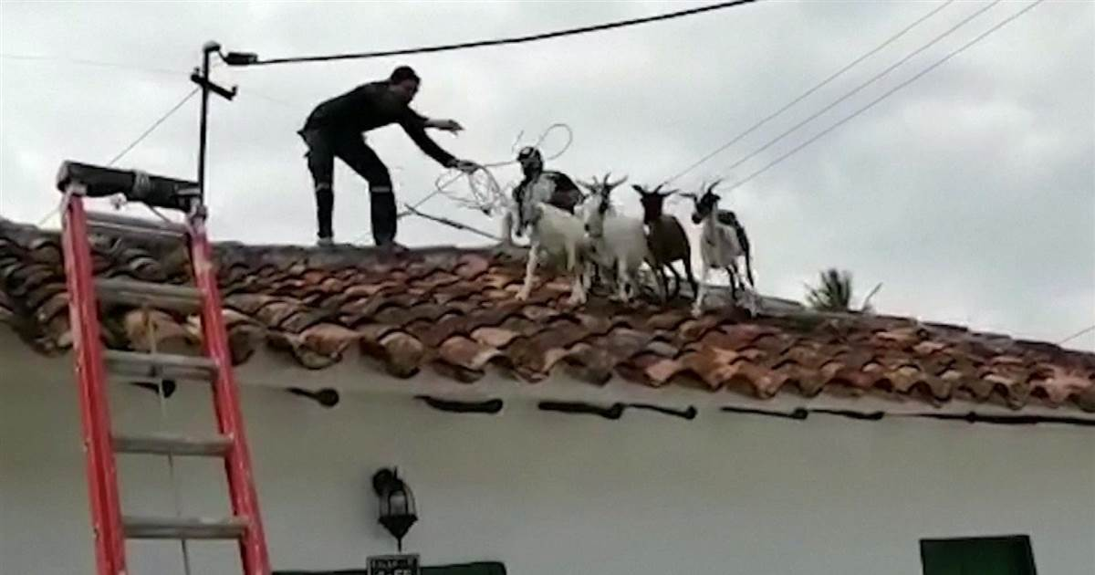 WATCH: Firefighters rescue goats trapped on a roof